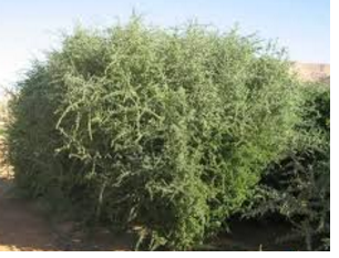gharqad tree.png